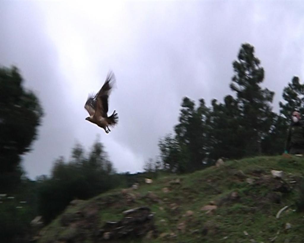 Suelta Aguila Real2
