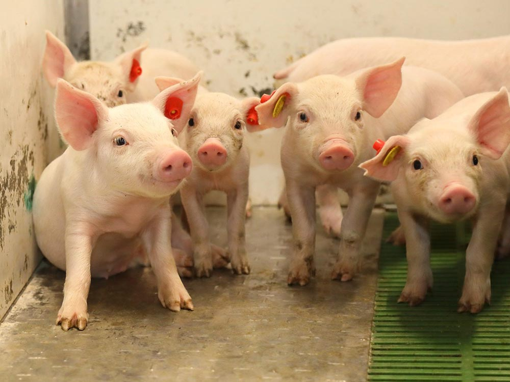 Cerdos ICPOR_capa blanca